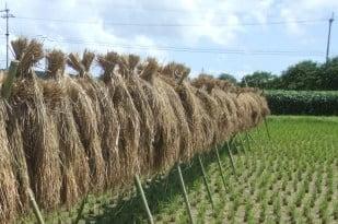 「はざかけ」とは?、刈り取った稲を逆さにして乾燥させることです。